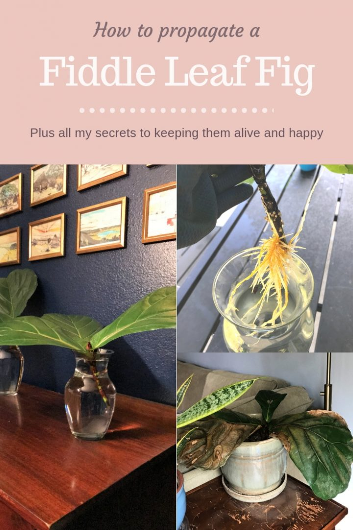 How to Root a Fiddle Leaf Fig Tree